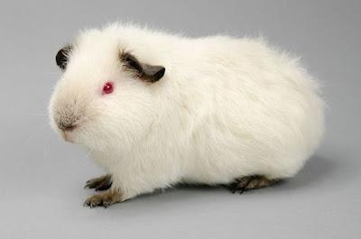 Himalayan Guinea Pig breed