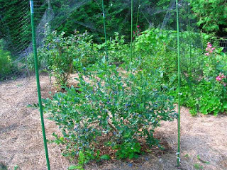 cara-menanam-blueberry.jpg