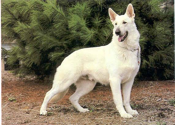 Dogs Info White German Shepherd
