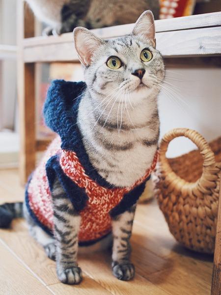 セーターを着てお座りポーズのサバトラ猫