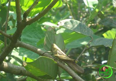 """Belalang Kunyit kalau ditempat saya disebut """"Simeut Siloar"""". Belalang di pohon Rambutan."""