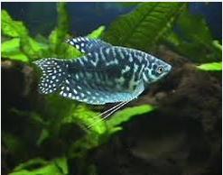 Ikan Hias  Lace Gourami sepat tentara