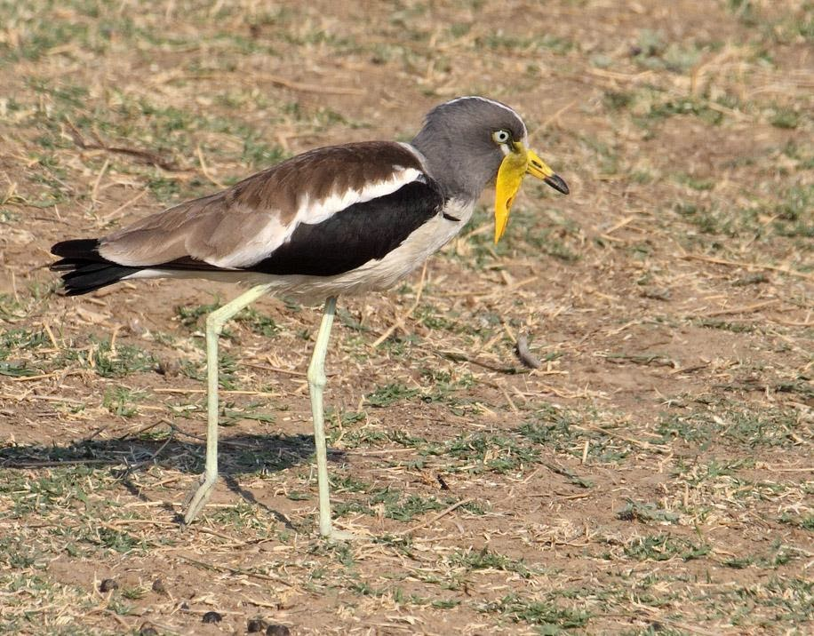 White headed lapwing