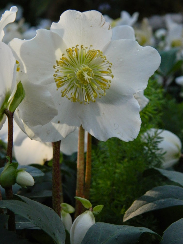 Allan Gardens Conservatory Christmas Flower Show 2014 Helleborus niger Jacob Christmas Rose by garden muses-not another Toronto gardening blog