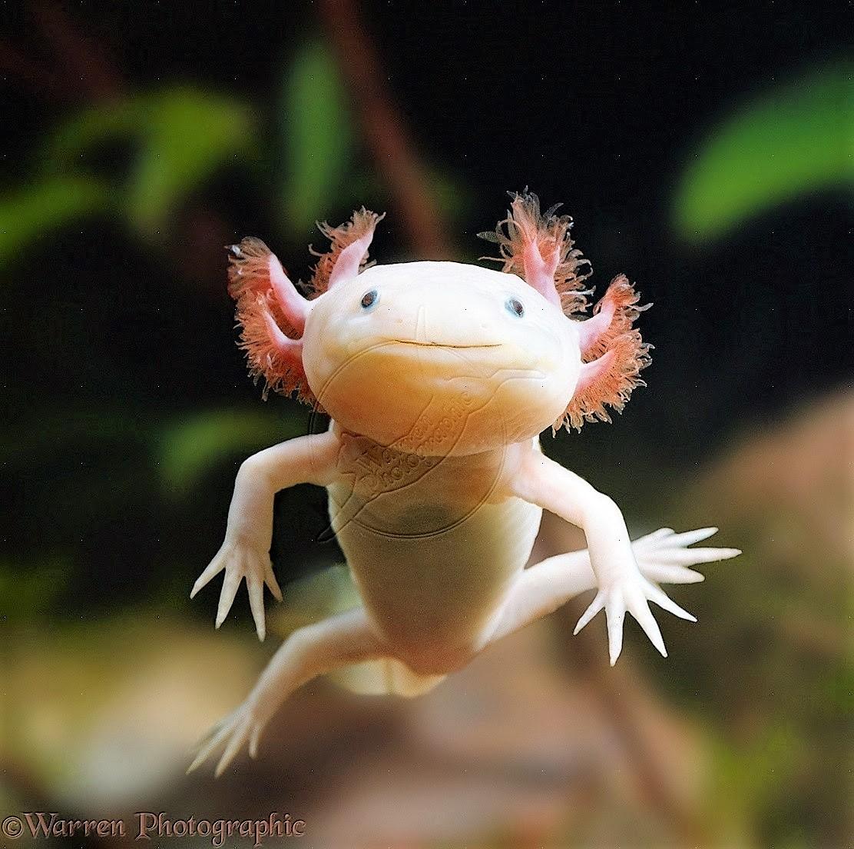 Cute Axolotl Wallpaper Fieggentrio Bizarre Gekke Vreemde En Bijzondere Dieren