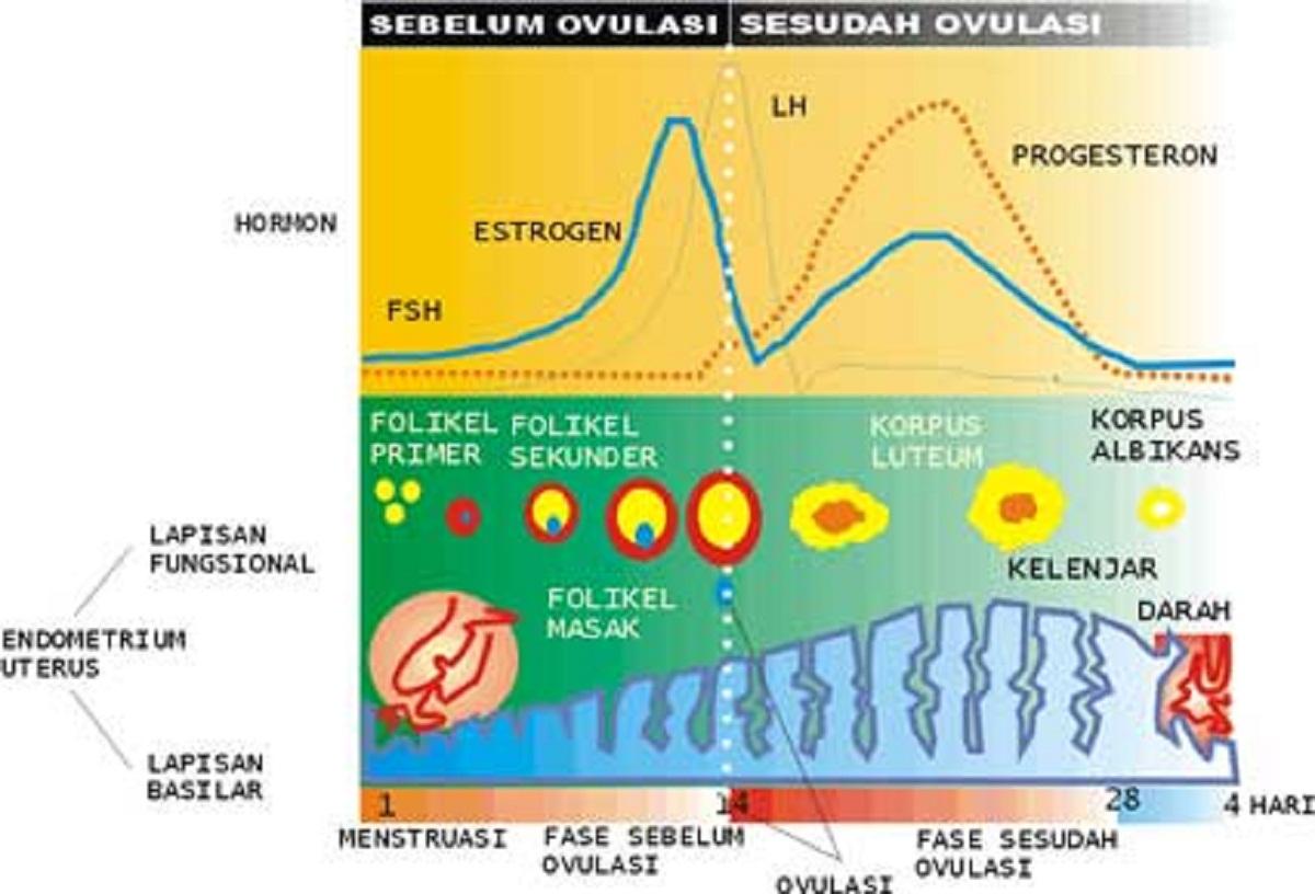 siklus-menstruasi-wanita