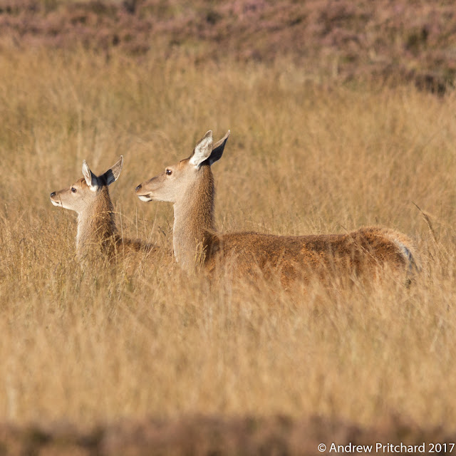 A hind and calf stand neck deep in yellow moorland grass.