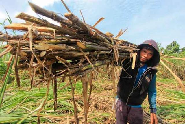 Pajak Bikin 3.000 Ton Gula Petani Cirebon tak Laku Dijual