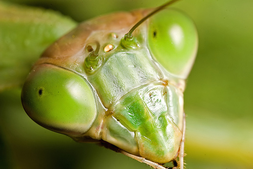 praying mantis green close up