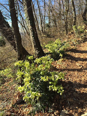 Helleborus foetidus along sentiero 571
