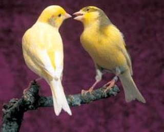 Burung Jalak Suren Birahi