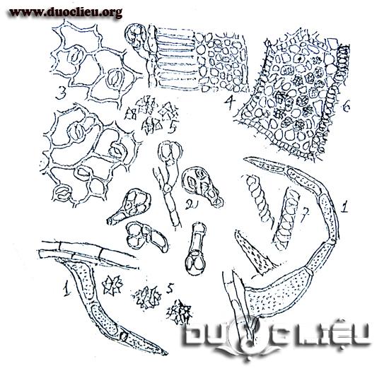Hình 2.4.2b: Một số đặc điểm bột Cà độc dược