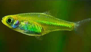 Ikan Aquascape Terindah
