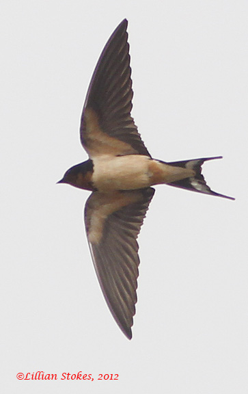 STOKES BIRDING BLOG: Cliff and Northern Rough-winged ...