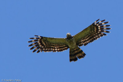 Long-tailed Honey-buzzard