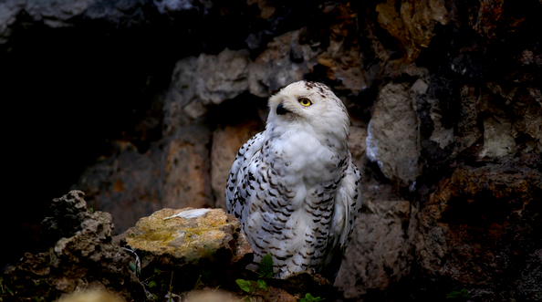 Picture of snowy owl looking up