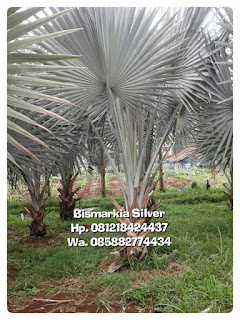 Tukang Taman minimalis menjual bibit pohon palm bismarkia silver asli harga murah
