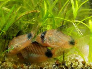 ikan-di-dasar-akuarium.jpg