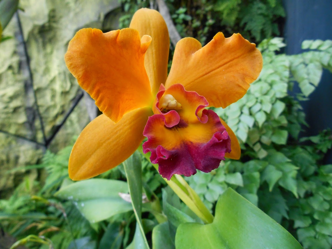 Dendrobium SP Orchid with Orange Colour