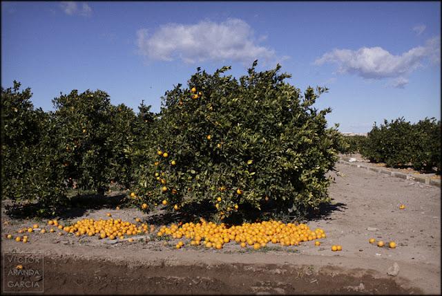 naranjas,tiradas,valencia,desperdicio,sobreproduccion,agricultura