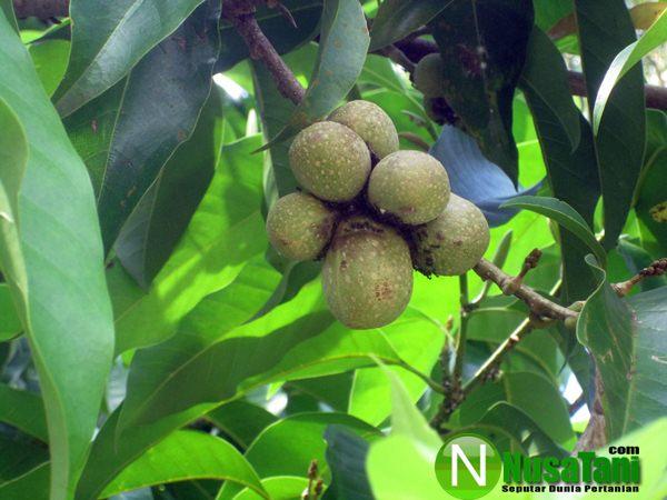 Mengembangkan Bunga Kantil Dr Biji Nusatani Com