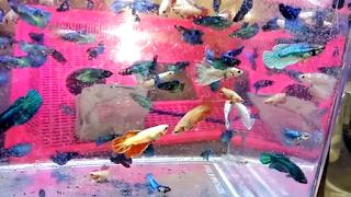 Daftar harga ikan guppy