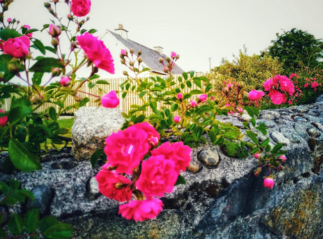 red roses on a stone wall, Connemara Ireland