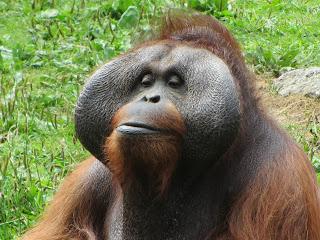 Orangutang Closeup Dublin Zoo