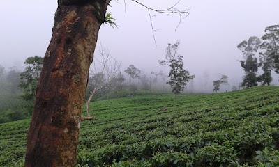 teh gunung kembang