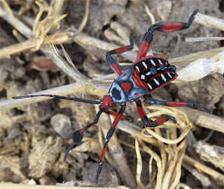 Thasus neocalifornicus, Giant Mesquite Bug