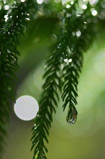 Norfolk Island Pine Dew