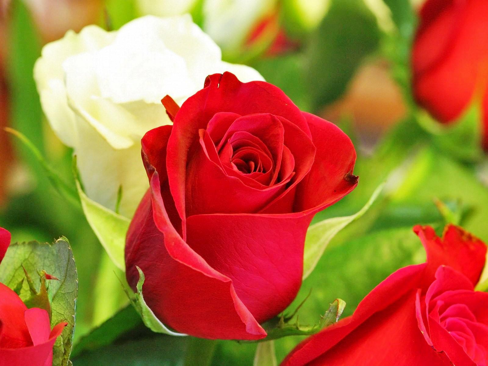 50 Gambar Bunga Cantik Dan Indah Explore IT