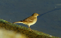 Latest : Water Pipit