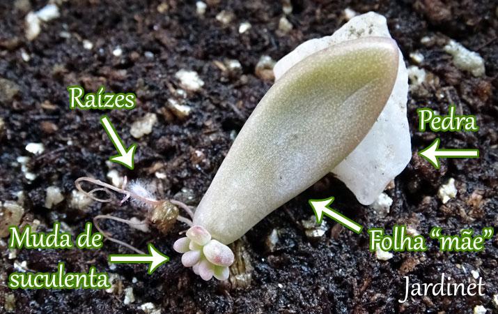 Como Fazer Mudas De Cactos E Suculentas Jardinet
