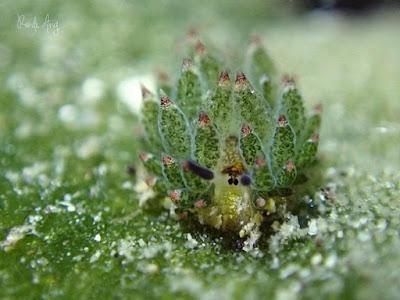Siput Ini Ternyata Setengah Hewan dan Setengah Tanaman