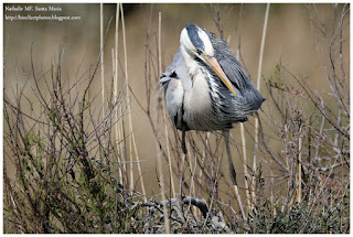 https://bioclicetphotos.blogspot.fr/search/label/H%C3%A9ron%20cendr%C3%A9%20-%20Ardea%20cinerea