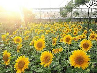Ingin Menanam Bunga Matahari? Inilah Tips yang Wajib Kamu Tahu!