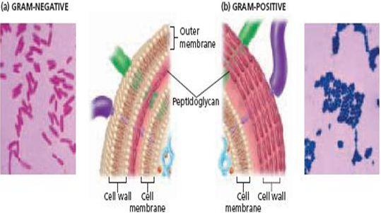 Apa Itu Struktur Sel Prokariotik : Bacteria dan Archaea