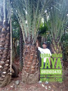 jual pohon kurma tropis