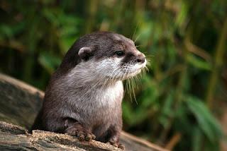 Cara Menghilangkan Bau Otter yang Amis