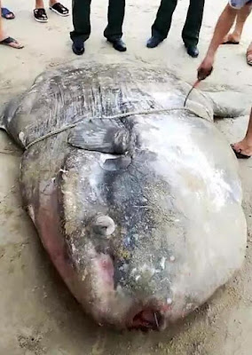 Η θάλασσα ξεβράζει τεράστια τερατόμορφα ψάρια στην Κίνα