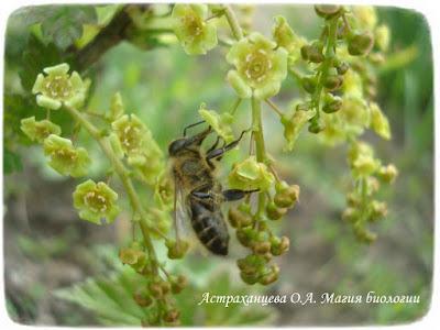 фенофазы, наблюдения весны, смородина цветет, пчела на цветах