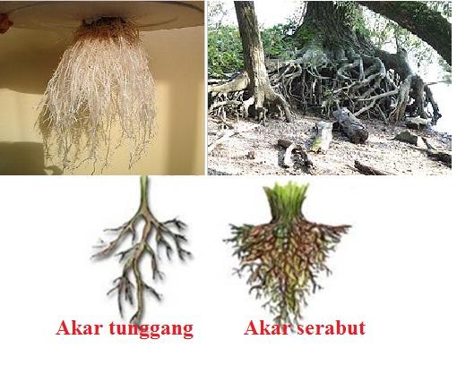 Pada umumnya, akar memiliki dua jenis yakni akar serabut dan akar tunggang.
