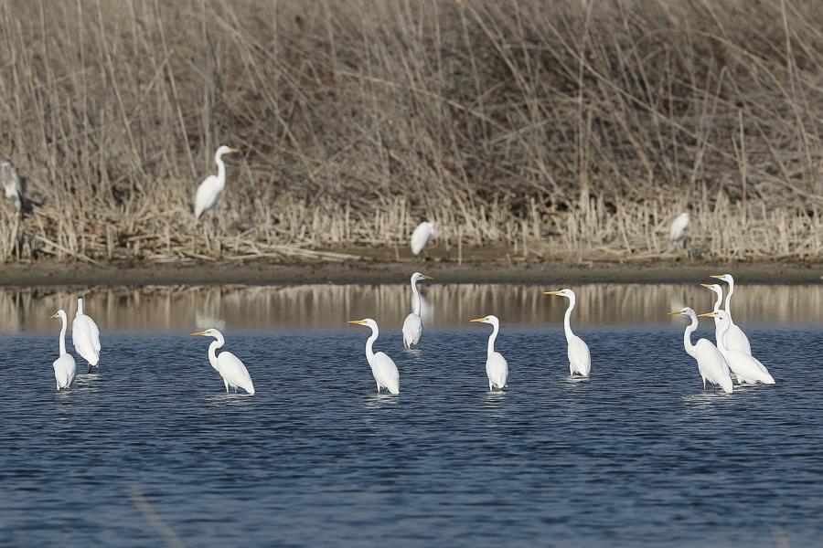 Western Great Egrets