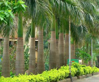 Jenis Palem Untuk Taman Rumah Pribadi | Palem Untuk Outdoor