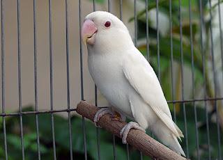 Hasil gambar untuk albino lovebird