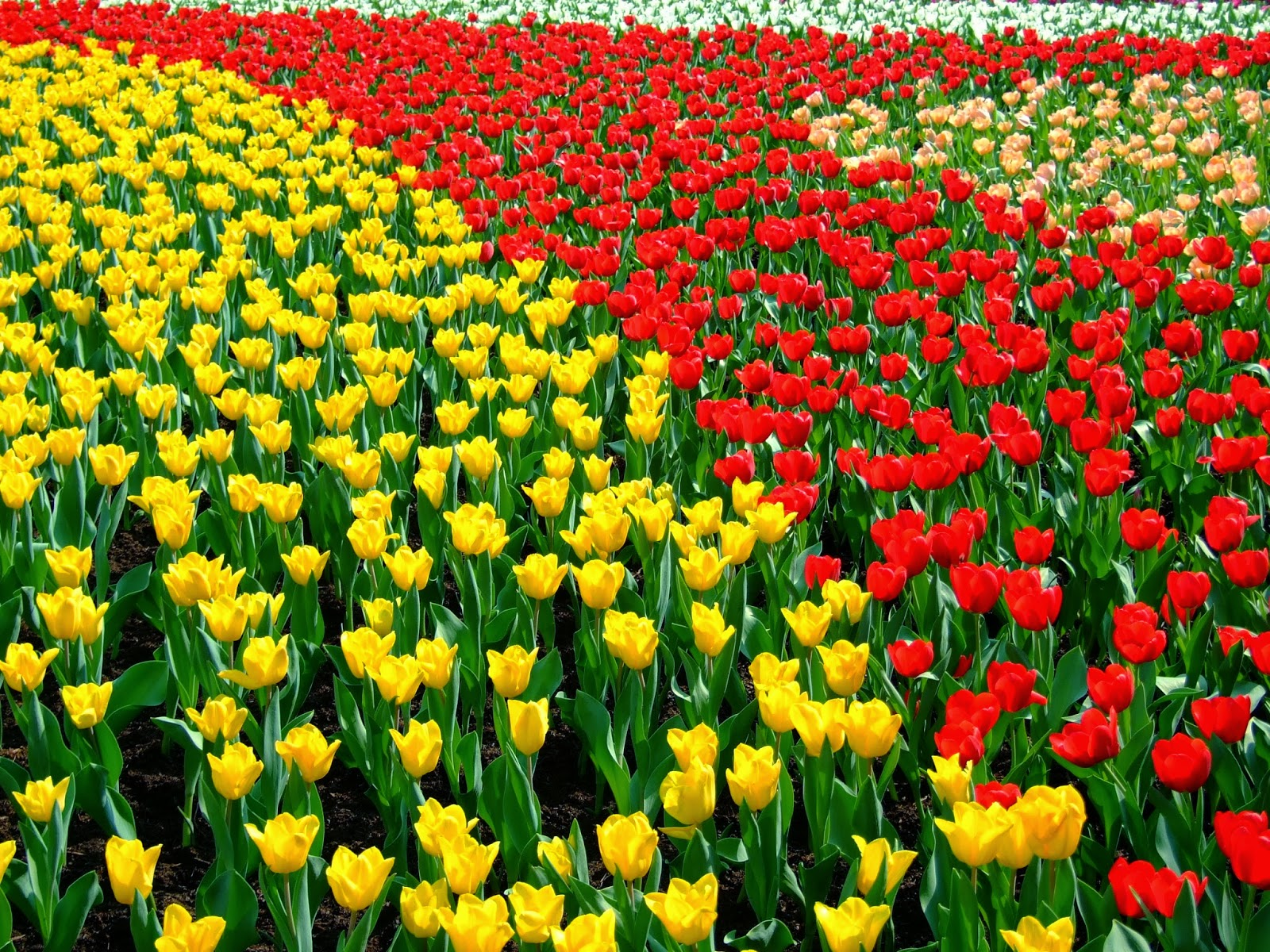 #Tulipa (Tulipa gesneriana)