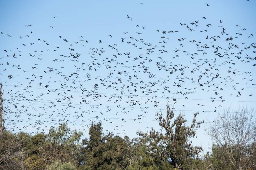 Bat Issues Flying Fox Action Group Wants Epa To Test Air Quality In Infested Areas