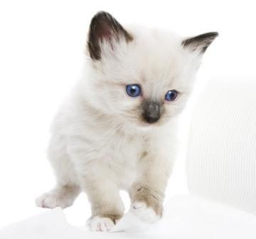 Snowshoe Cat Pictures