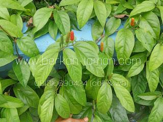 Jual pohon cabe Jawa tanaman hias